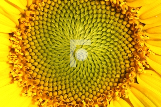 Closeup Macro of a Sunflower Texture