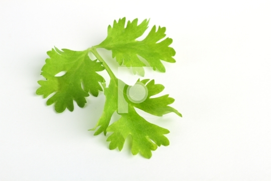 Fresh green coriander leaf