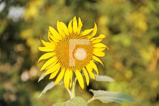 Fresh Sunflower with Blurred Background