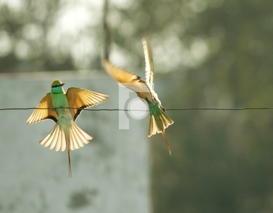 Green Bee Eater Bird in New Delhi, India