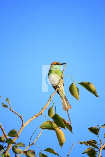 Green Bee Eater Bird with Blue Sky in New Delhi, India