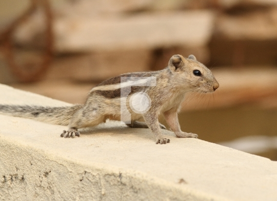 High Resolution Indian Squirrel on a Wall Free Stock Photo