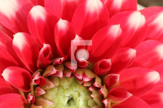 Macro Closeup of a Beautiful Red Flower - Free Photo