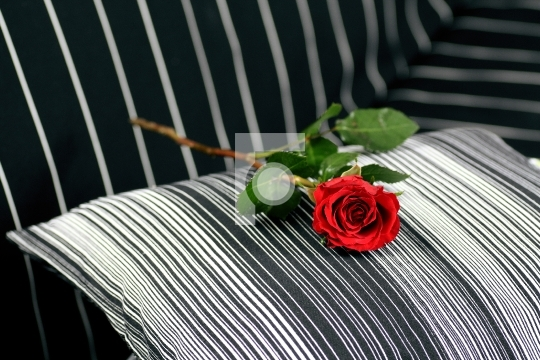 red rose on a black sofa
