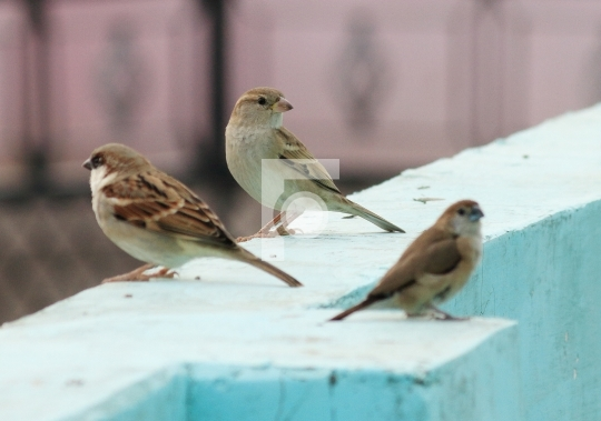 Sparrow Birds on House Rooftop in India Free stock photo